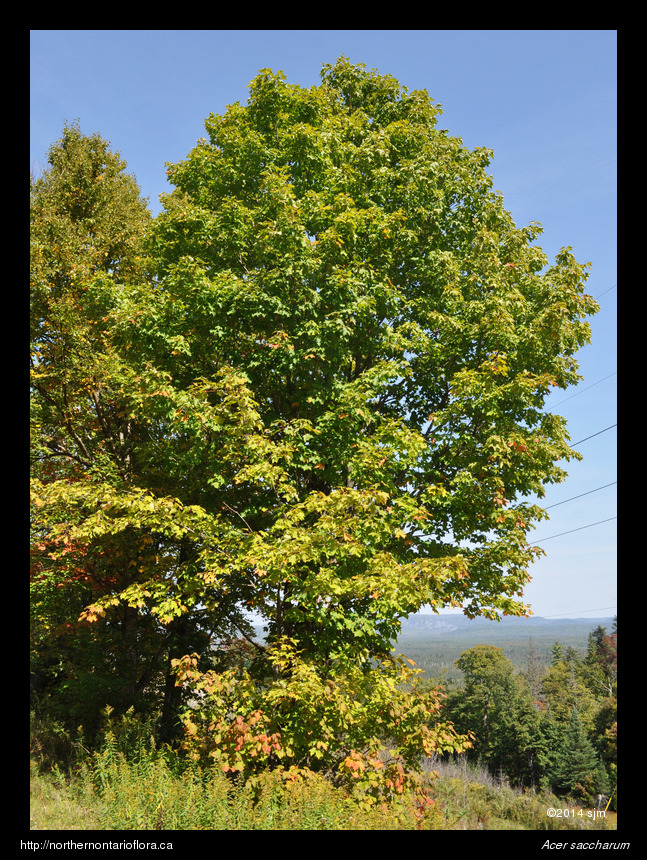 Acer saccharum1