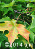 Acer saccharum4
