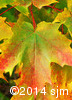 Acer saccharum7
