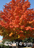 Acer saccharum9
