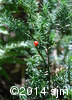 Taxus canadensis10