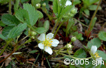 Fragaria virginianaflw