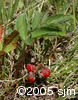 Fragaria virginianafrt