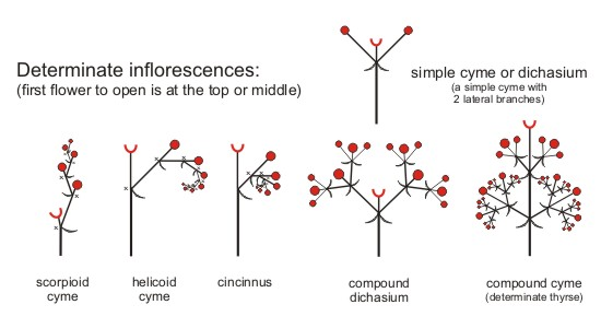 simple cyme or dichasium a determinate inflorescence with 2    Cyme Inflorescence