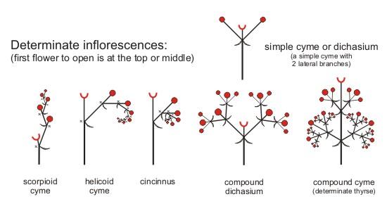 inflorescencee